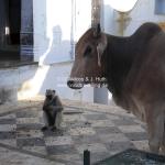 Die heilige Kuh und der Affe