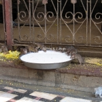 Rattentempel in Bikaner / Rajasthan / Indien