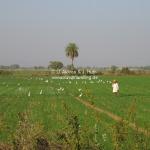 Der Reisbauer