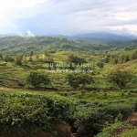Teeplantagen in Sabah / Borneo