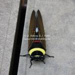 Exotische Zikade im Mt Kinabalu National Park in Sabah / Borneo