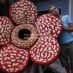 Auf der Suche nach der berühmten Rafflesia in Sabah / Borneo