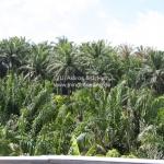 Palmölplantagen so weit das Auge sieht, zerstören den natürlichen Regenwald in Sabah / Borneo