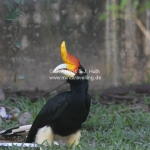 Rhinoceros Hornbill / Nashornvogel
