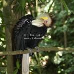 Hornbill / Nashornvogel
