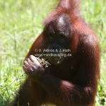 Orang Utans in Sabah / Borneo