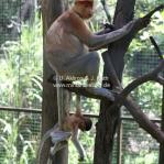 Proboscis Monkeys / Nasenaffen in Sabah / Borneo