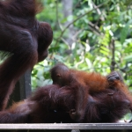 Orang Utans in Sepilok / Sabah / Borneo