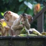 Die anderen Affen holen sich die Reste in Sepilok / Sabah / Borneo