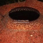 Die größte Blume der Welt - die Rafflesia in Sabah / Borneo