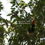 Rhinoceros Hornbill / Nashornvogel / Sabah / Borneo