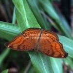 Exotischer Schmetterling in Sarawak / Borneo