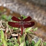 Exotische Libelle in Sarawak / Borneo
