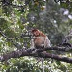Proboscis Monkeys / Nasenaffen im Bako National Park / Sarawak / Borneo