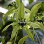 Fleischfressende Pflanzen / Pitcherplants / Sarawak / Borneo