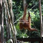 Orang Utans in Semengoh / Sarawak / Borneo