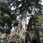 Eingewachsener Ta Phrom Tempel in Siem Reap / Cambodia