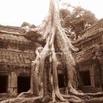 """Iconic Crocodile Tree"" im Ta Phrom Tempel in Siem Reap / Cambodia"
