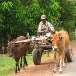 Ochsenkarren auf dem Weg zum Beng Melea Tempel
