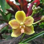 """""""Nelson Mandela Orchidee"""" im Orchideen Garten in Singapur"""
