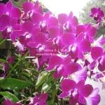 Orchideen Garten in Singapur