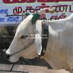 Die heilige Kuh trägt Landesfarben!