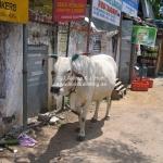 Die heilige Kuh in Mammalapuram