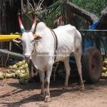 Die Kuh trägt die Landesfarben