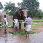 Der Tempelelefant von Tanjavur