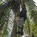 Kala holt Kokosnüsse von der Palme!